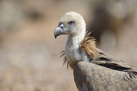 Griffon vulture protrait.