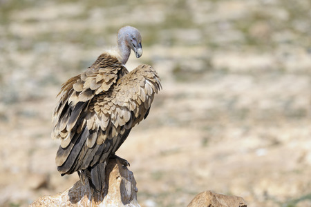 gyps: Griffon vulture standing on a rock. Stock Photo