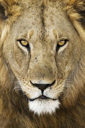 panthera leo: Male Lion (Panthera leo) portrait close up. Stock Photo