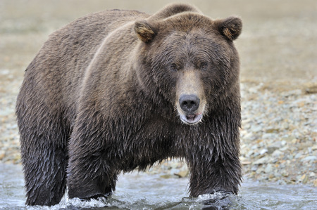grizzly: Grizzly bear fishing in water.