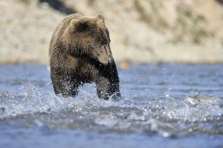 salmon leaping: Grizzly bear fishing in water.