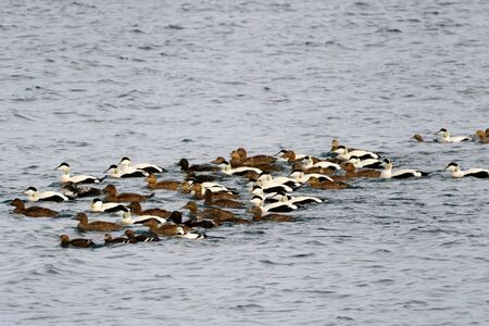 Group of Eider ducks swimming together with Steller