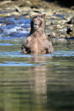 alaskan bear: Grizzly Bear standing up in water.