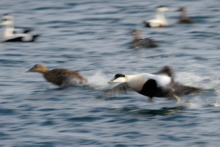 waterbird: Flying Eider duck taking of from water.