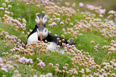 puffins: Two Atlantic Puffins together in pink thrift.