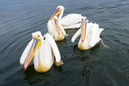 great bay: Great White Pelican (Pelecanus onocrotalus) group swimming in bay, close up, Walvisbaai, Namibia.