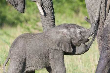 affectionate actions: African Elephant (Loxodonta africana) young behind mother and protected by family trunk, Serengeti national park, Tanzania.