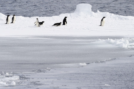penguin colony: Adelie penguins on pack ice.