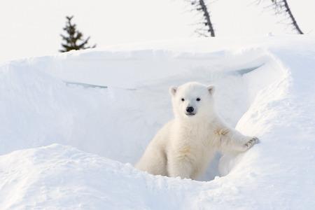 arctic zone: Polar bear (Ursus maritimus) cub coming out den, Wapusk national park, Canada.