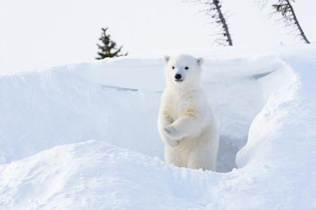 cachorro: Oso polar (Ursus maritimus) cachorro saliendo den y de pie mirando a su alrededor, parque nacional de Wapusk, Canadá.