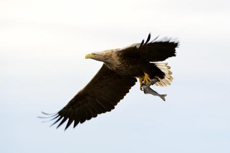 scandinavian people: White-tailed eagle (Haliaeetus albicilla) catching fish in Norwegian bay. Stock Photo