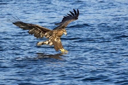 White-tailed eagle (Haliaeetus albicilla) catching fish in Norwegian bay. Stock Photo