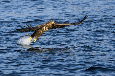 whitetailed: White-tailed eagle (Haliaeetus albicilla) catching fish in Norwegian bay. Stock Photo