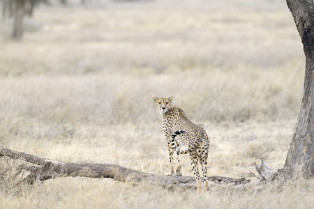 looking out: Cheetah looking out for prey.