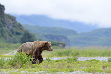 Grizzly Bear Urus arctos horribilis walking on riverbank
