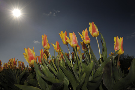 short trip: Close-up from tulip field with sky. Stock Photo