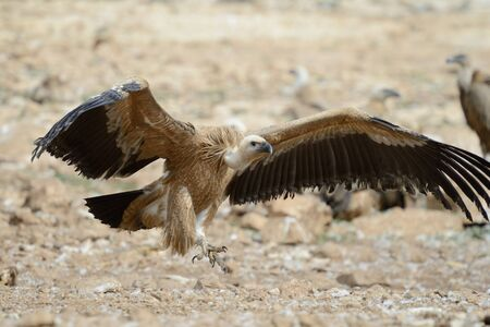 spreaded: Griffon vulture with wings spreaded