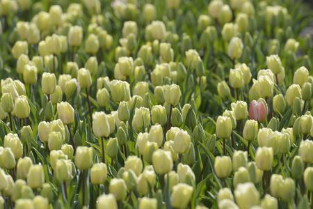 biotope: Tulip field Stock Photo