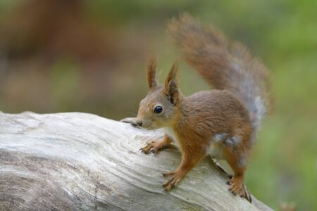 Red squirrel on wood.