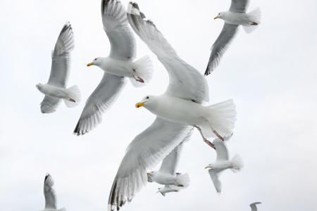 spreaded: Hering gull flying in sky with others in background.