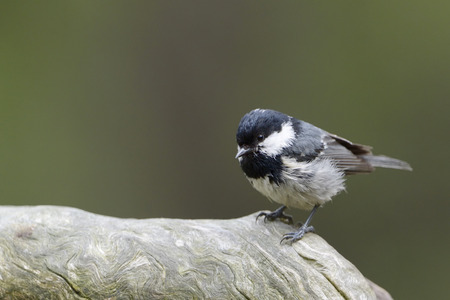 solitair: Coal tit perched on wood.