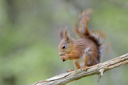 red squirrel: Red squirrel on branch eating a nut.