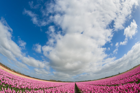 Fish eye view of a tulip field with different colors and cloudy sky above, North Holland, the Netherlands. Stock Photo