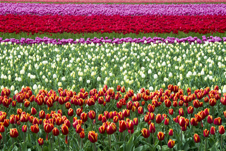 western european ethnicity: Different colors of tulips in lines in a field, North Holland, The Netherlands. Stock Photo