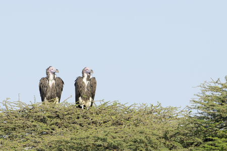 two faced: Two Lapped faced vulture (Torgos tracheliotus) perched on acacia tree top, looking sideways, Ngorongoro conservation area, Tanzania Stock Photo