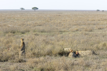 archetypal: Female Cheetah (Acinonyx jubatus) surveying the plain for danger while her three cubs feed on a gazelle, Serengeti national park, Tanzania.