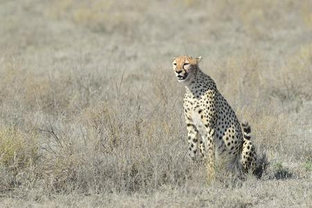 jubatus: Cheetah (Acinonyx jubatus) sitting on savanna, looking around, Serengeti national park, Tanzania.