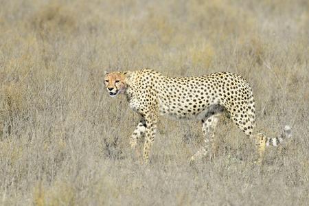 acinonyx: Cheetah (Acinonyx jubatus) walking on savanna, looking at the camera, Serengeti national park, Tanzania. Stock Photo