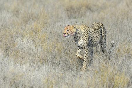 acinonyx: Cheetah (Acinonyx jubatus) walking on savanna, Serengeti national park, Tanzania.
