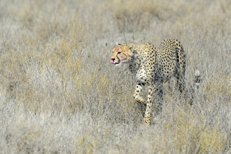 jubatus: Cheetah (Acinonyx jubatus) walking on savanna, Serengeti national park, Tanzania.