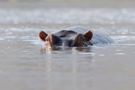 amphibius: Hippopotamus (Hippopotamus amphibius) looks in the camera with his head just above the water, Ngorongoro crater, Tanzania.