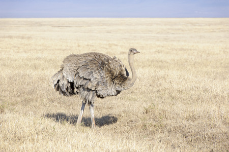 struthio camelus: Ostrich (Struthio camelus) female foraging on the savanna plaines, Ngorongoro crater, Tanzania.