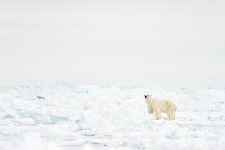 nu: Polar Bear (Ursus maritimus) adult, walkin on melting icefloe, floe edge, Baffin Bay, Nunavut, Canada. Stock Photo