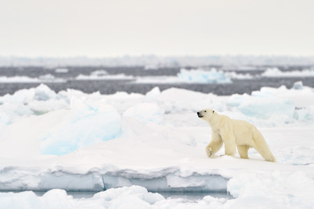 arctic landscape: Polar Bear (Ursus maritimus) adult, walkin on melting icefloe, floe edge, Baffin Bay, Nunavut, Canada. Stock Photo