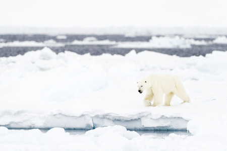 Polar Bear (Ursus maritimus) adult, walkin on melting icefloe, floe edge, Baffin Bay, Nunavut, Canada. Stock fotó