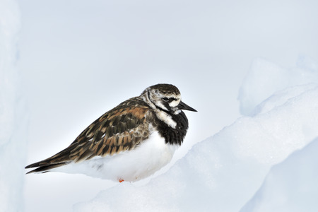northpole: Turnstone (Arenaria interpres), adult in summer plumage, sitting on ice, Baffin bay, Nunavut, Canada.