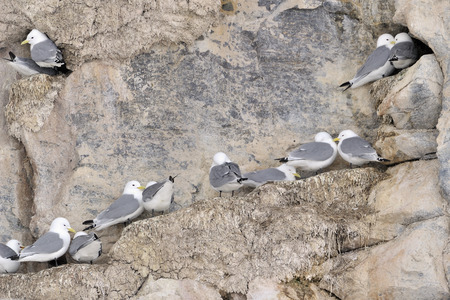 northpole: Black-legged kittiwakes (Rissa tridactyla) nesting colony on cliff, Bylot island, Baffin bay, Nunavut, Canada.
