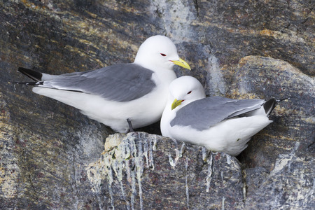 northpole: Black-legged kittiwake (Rissa tridactyla) pair nesting on cliff, Bylot island, Baffin bay, Nunavut, Canada.