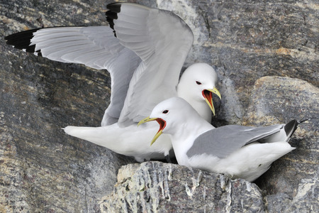 northpole: Black-legged kittiwake (Rissa tridactyla) pair nesting on cliff, screaming, Bylot island, Baffin bay, Nunavut, Canada.