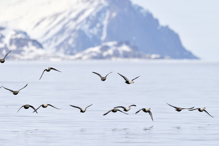 archetypal: Group of King Eider (Somateria spectabilis) flying above water, with Bylot island in background, Baffin bay, Nunavut, Canada. Stock Photo