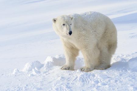 Polar bear (Ursus maritimus) mother standing next to freshly opened den, Wapusk national park, Canada. Archivio Fotografico