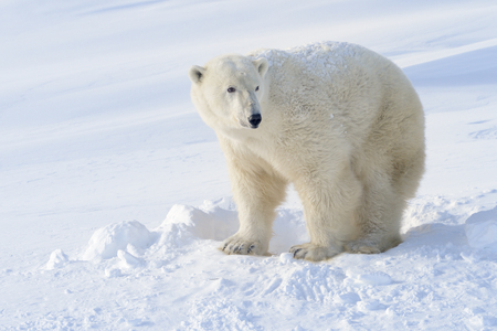 polar bear on the ice: Polar bear (Ursus maritimus) mother standing next to freshly opened den, Wapusk national park, Canada. Stock Photo