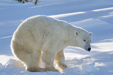 oso: Oso polar (Ursus maritimus) madre de pie en la guarida recién abierta, con luz de fondo, parque nacional de Wapusk, Canadá.