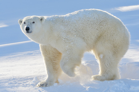 Polar bear (Ursus maritimus) mother standing at freshly opened den, with backlight, Wapusk national park, Canada.