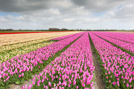 western european ethnicity: Tulip field with different colors and cloudy sky above, North Holland, the Netherlands. Stock Photo