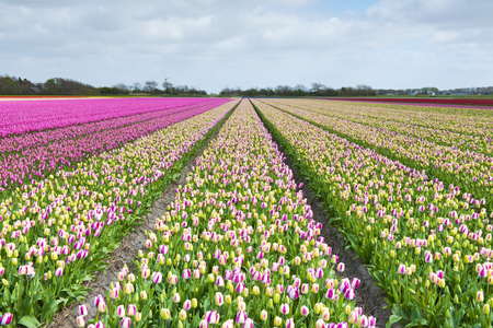 archetypal: Tulip field with different colors and cloudy sky above, North Holland, the Netherlands. Stock Photo